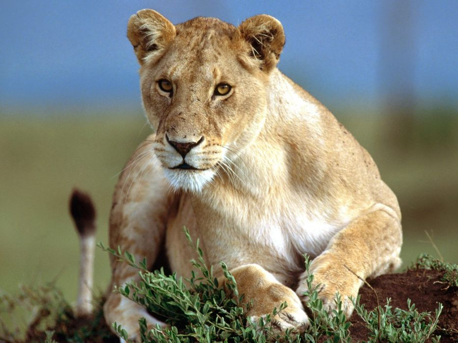 nature animals lions wallpaper