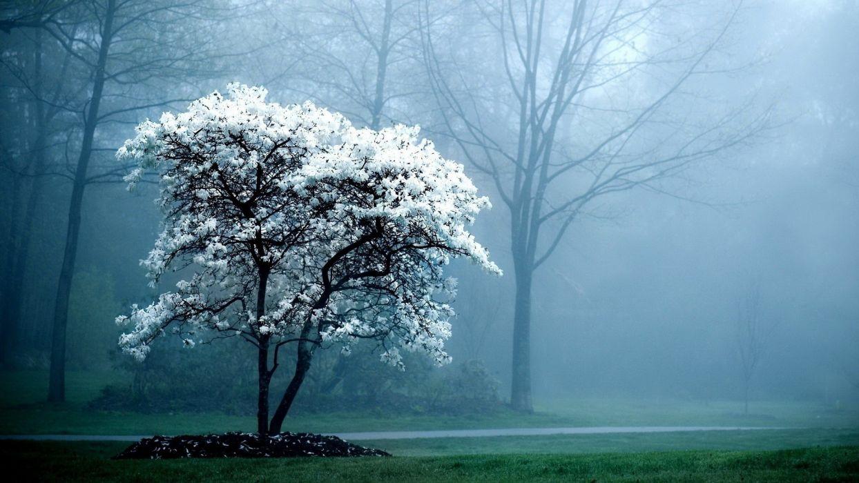 landscapes trees fog Magnolia white flowers flowered trees wallpaper