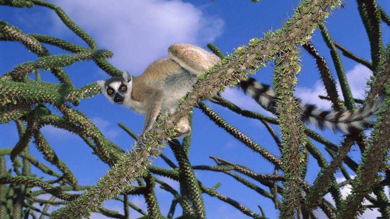 rings octopuses madagascar lemur National Park ring-tailed lemurs wallpaper