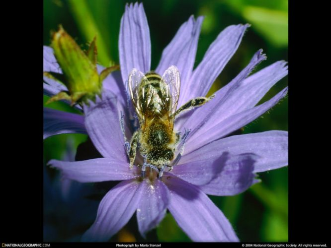 National Geographic bees wallpaper