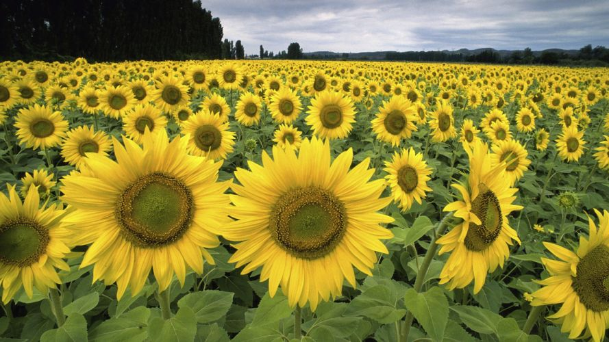 France sunflowers wallpaper