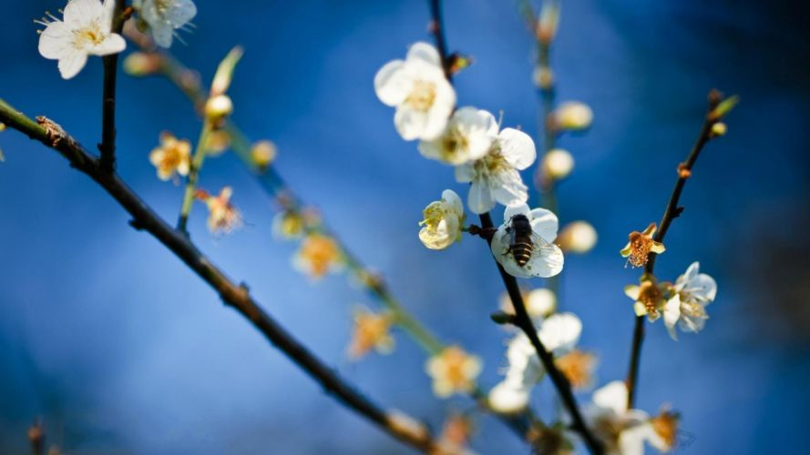 nature flowers insects bees depth of field white flowers wallpaper