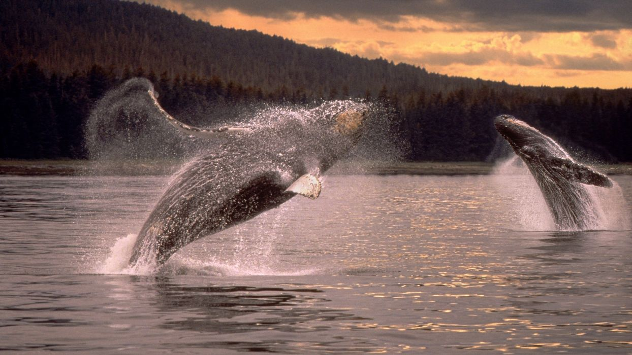 whales humpback whales wallpaper