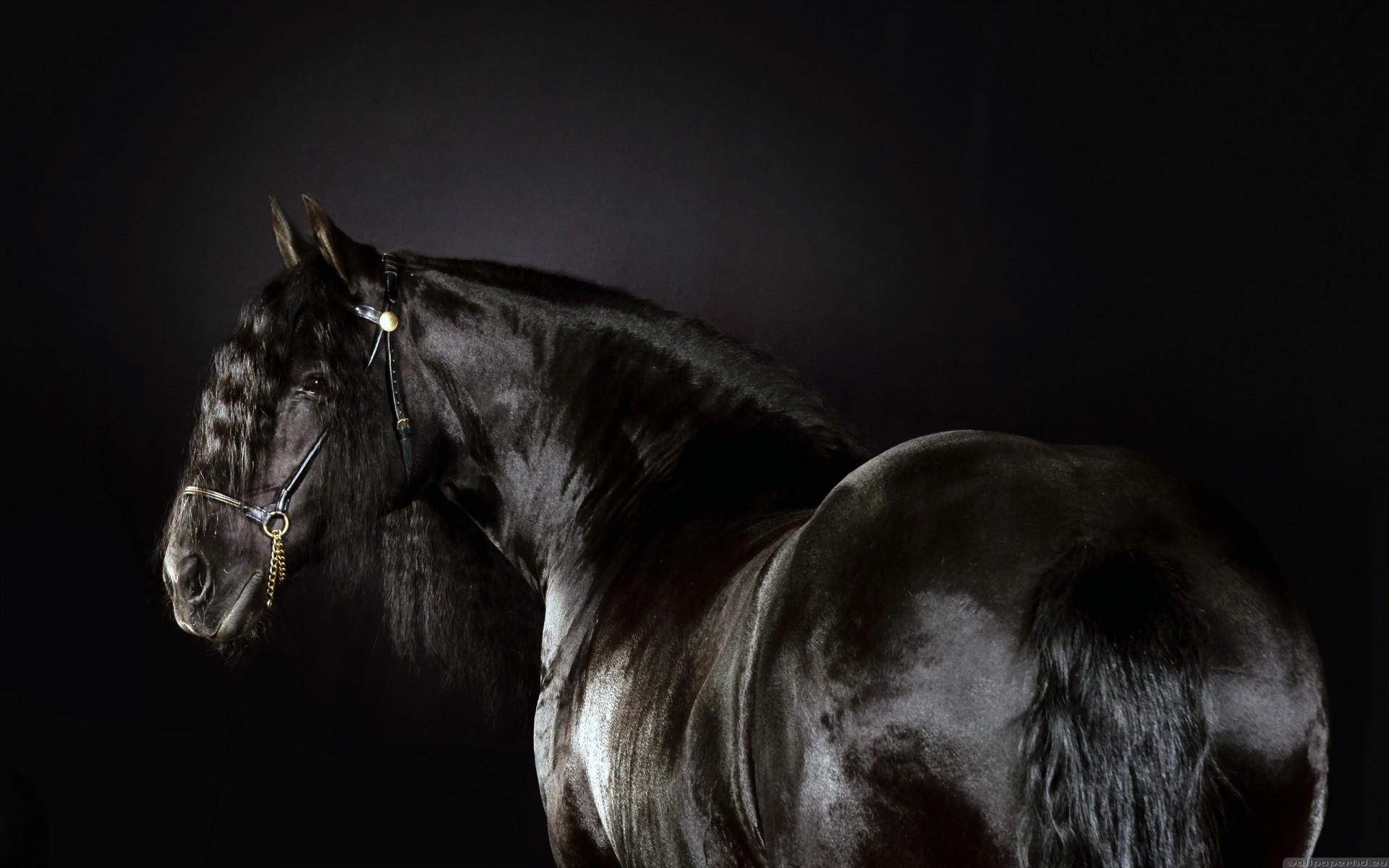 Black Animals Horses Friesian Horse Horse Race Wallpaper 1920x1200 185878 Wallpaperup
