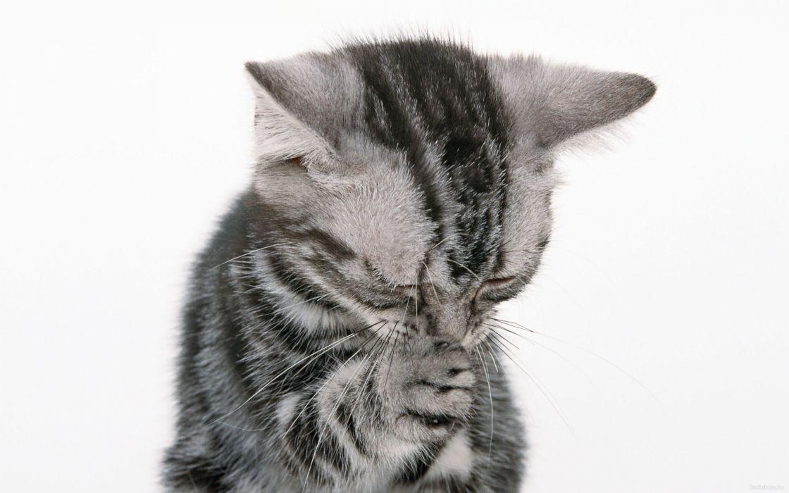 animals kittens wallpaper