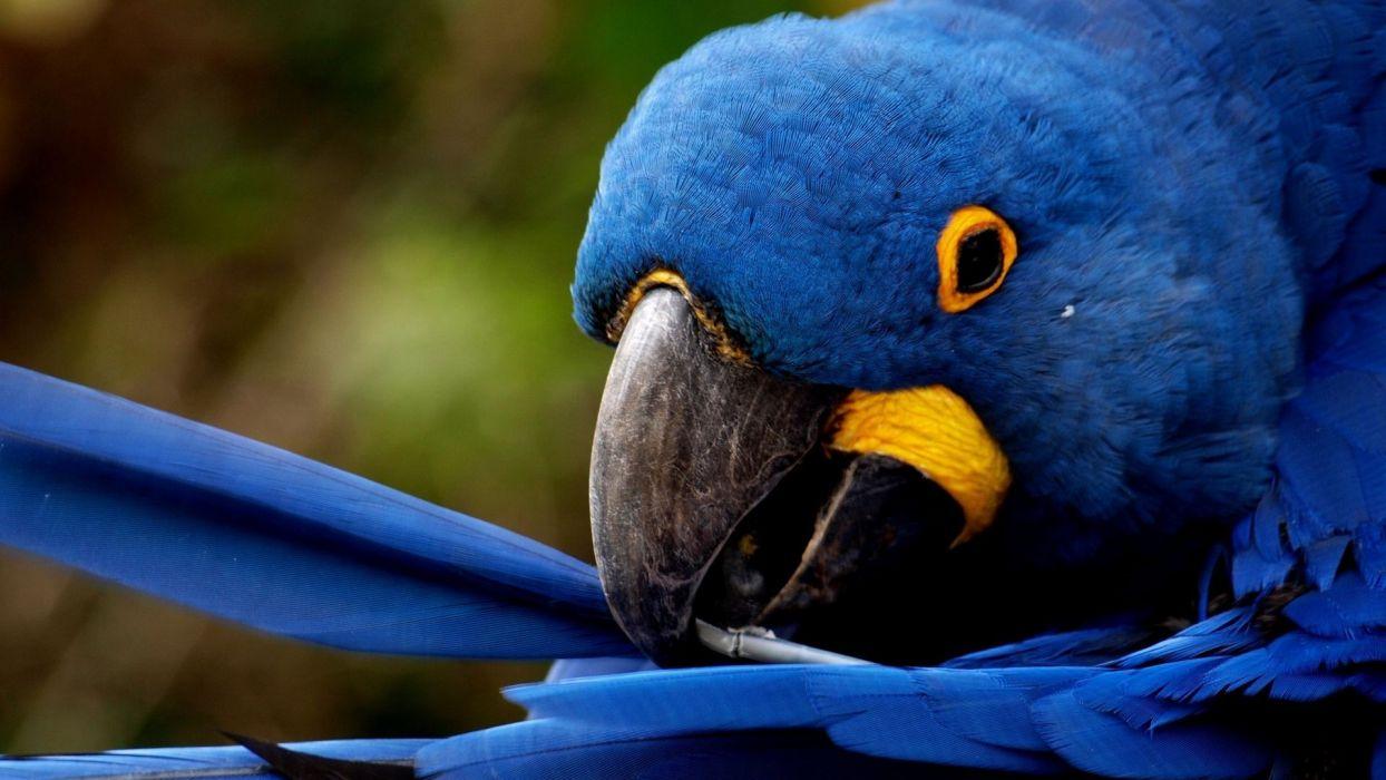 birds animals parrots hyacinth macaw wallpaper