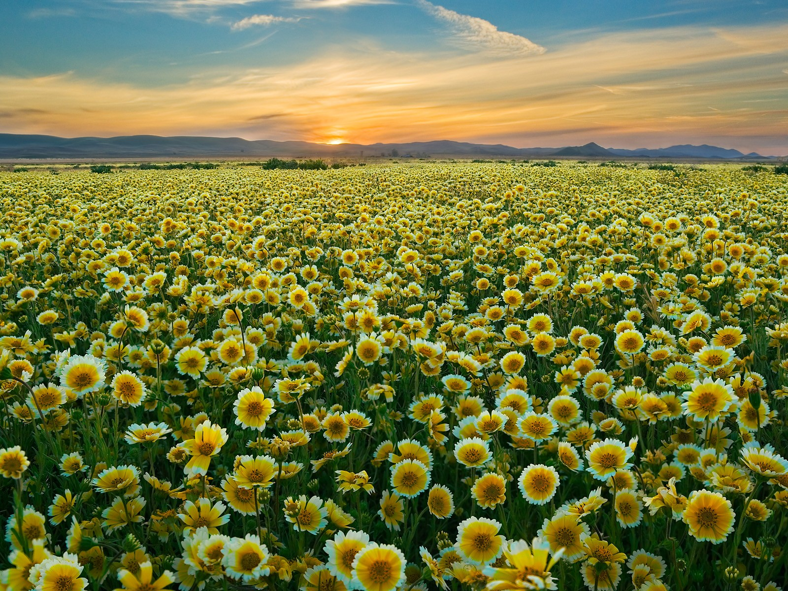 california plain wildflowers wallpaper 1600x1200