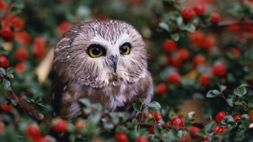 nature birds owls wallpaper