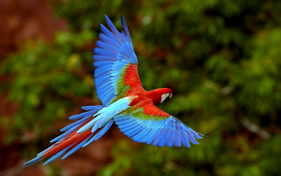 multicolor birds parrots Scarlet Macaws Macaw wallpaper
