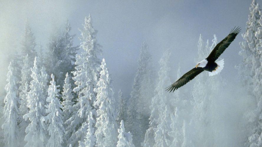winter Alaska bald eagles wallpaper