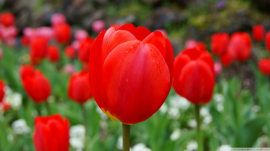 nature red tulips wallpaper