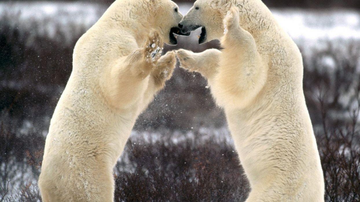animals Canada polar bears churchill wallpaper