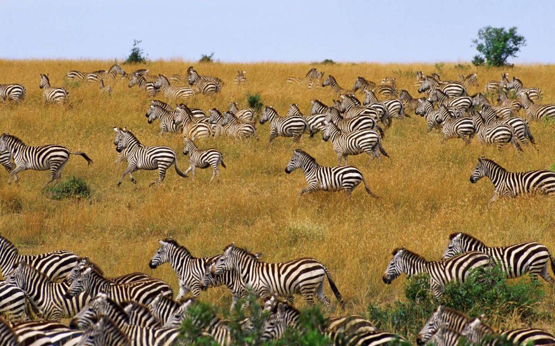 nature zebras herds wallpaper