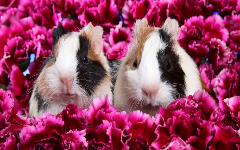 flowers animals guinea pigs pink flowers wallpaper