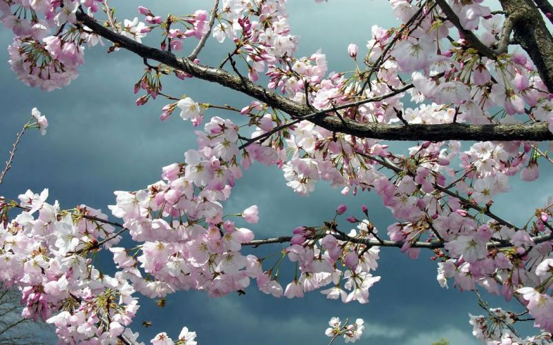 cherry blossoms blossoms wallpaper
