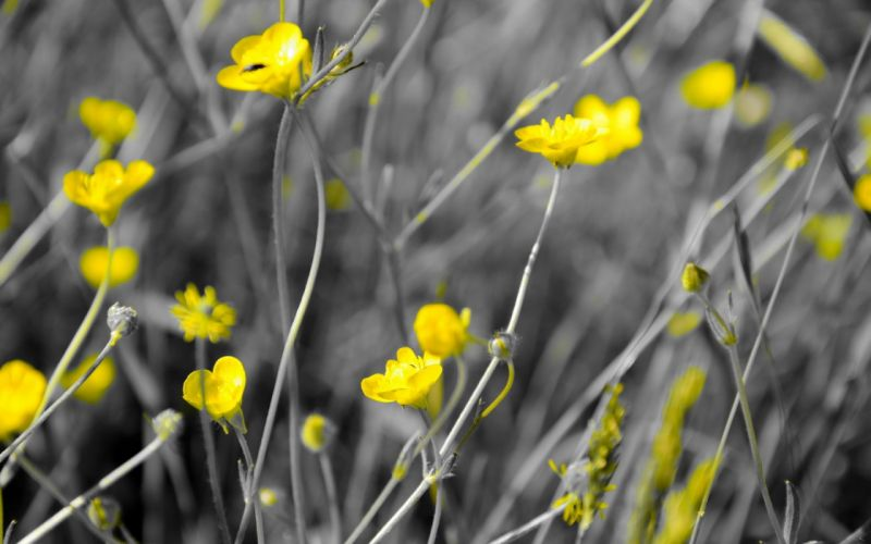 nature flowers selective coloring yellow flowers wallpaper