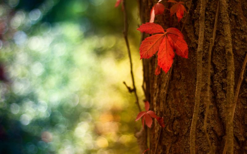 close-up nature trees autumn leaves plants bokeh Flora depth of field red leaf autumn leaves wallpaper