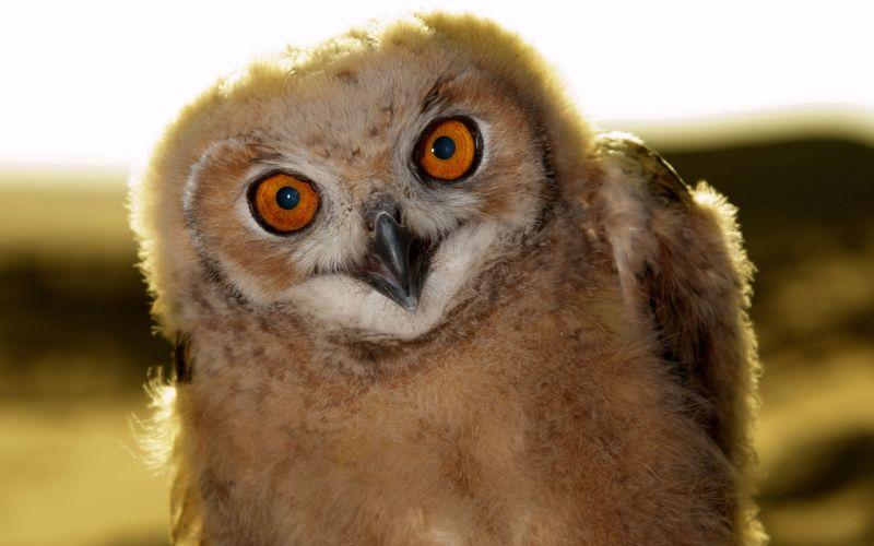 birds animals owls wallpaper