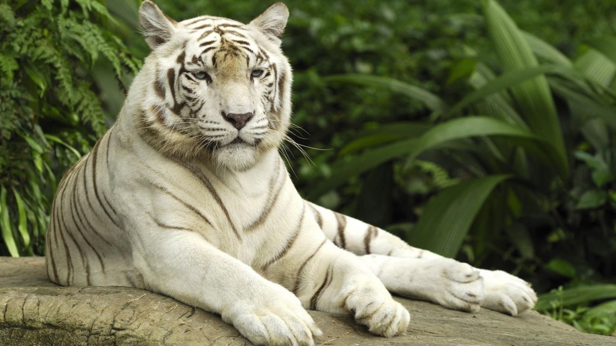nature forests animals tigers white tiger wallpaper