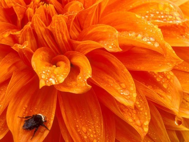 Bumblebee wallpaper