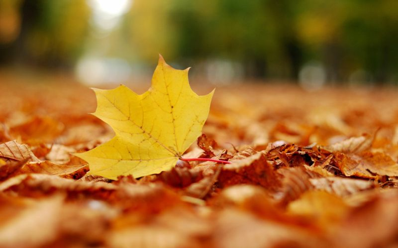 nature autumn leaves maple leaf fallen leaves wallpaper