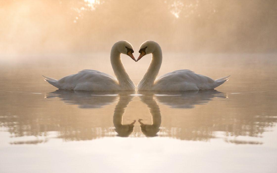 love birds animals swans hearts reflections wallpaper