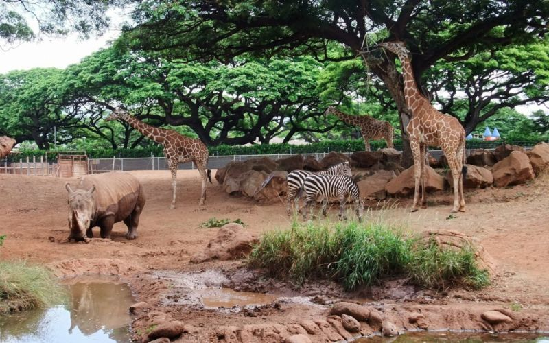 trees animals zebras rhinoceros giraffes wallpaper