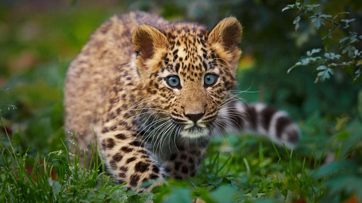 Nature Animals Cheetahs Baby Animals Wallpaper 1920x1080