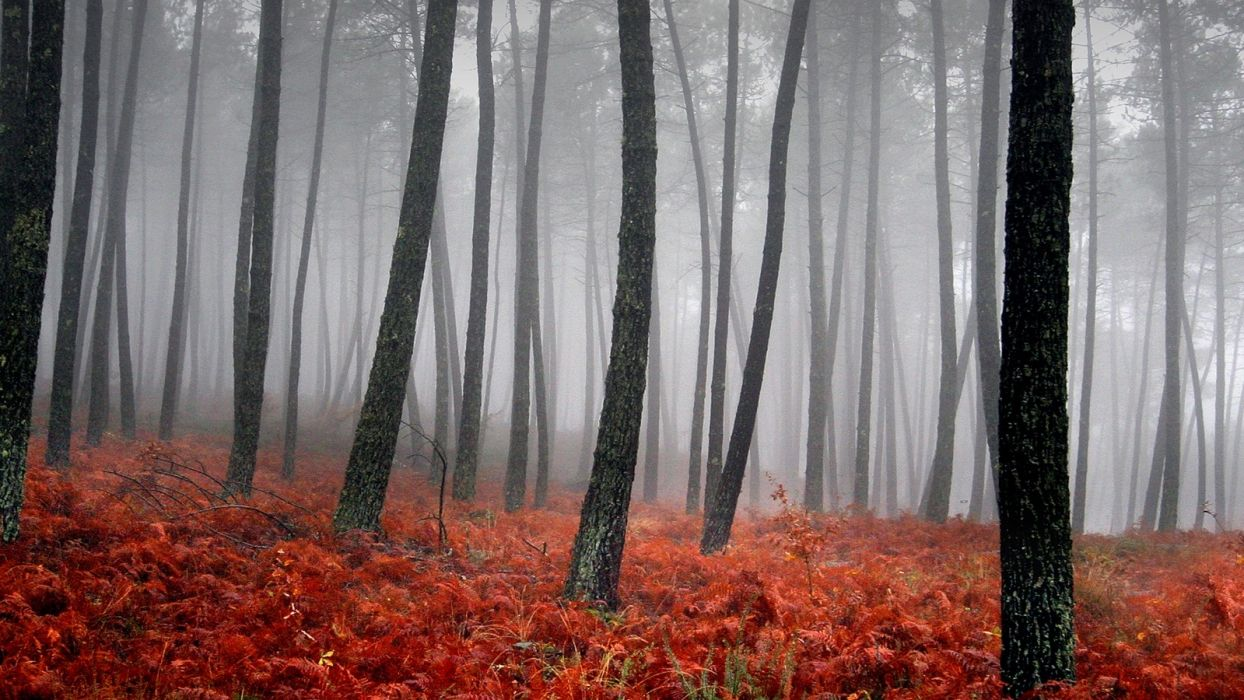trees forests fog wallpaper