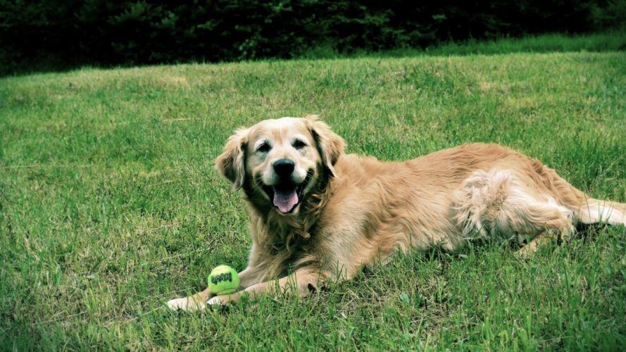happy dogs golden retriever wallpaper