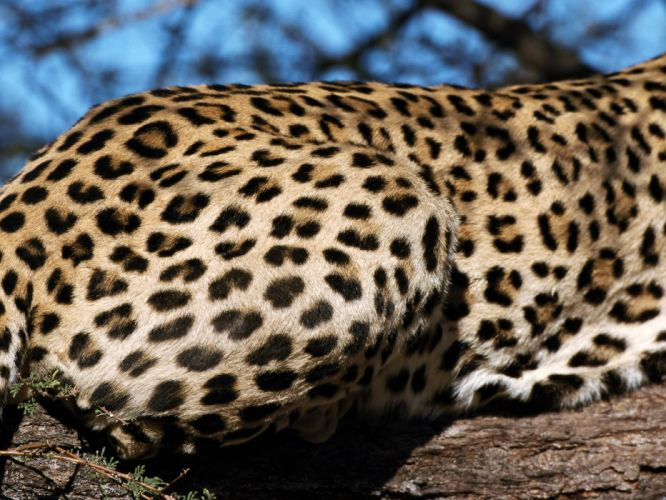 animals leopards wallpaper