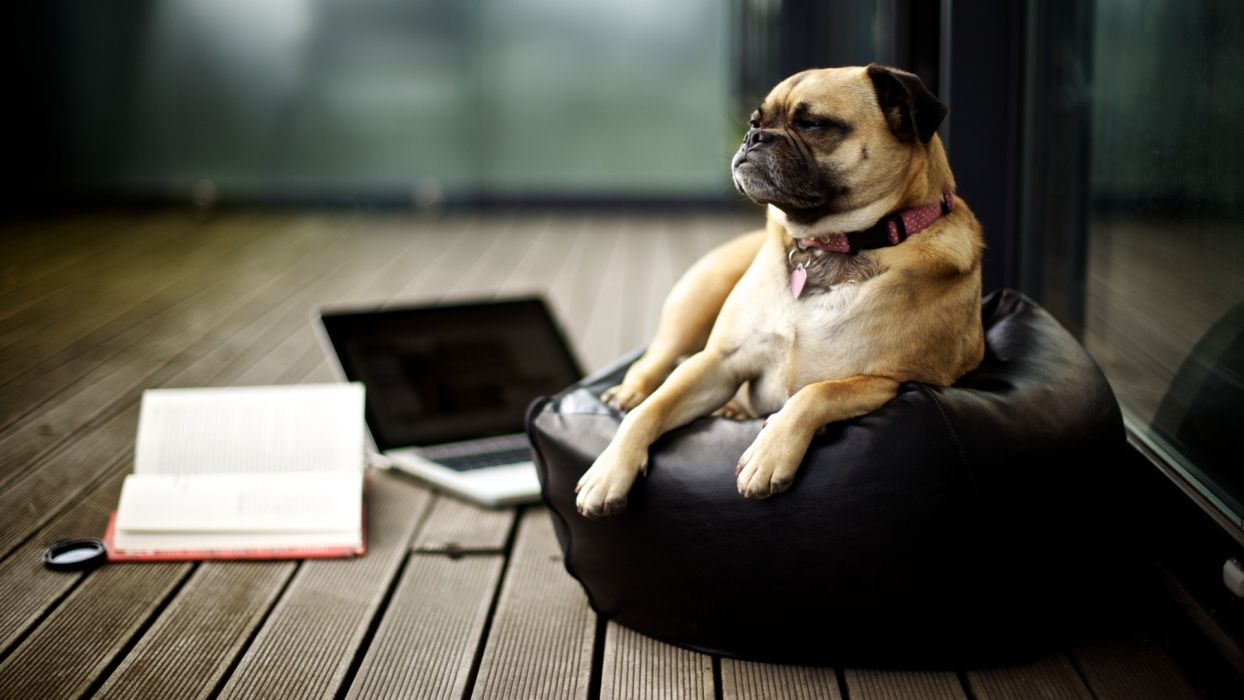 dogs pugs laptops pillows wallpaper