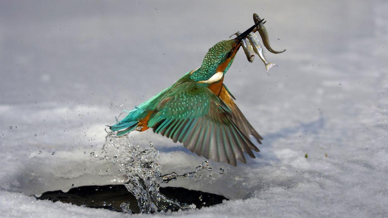 water ice birds kingfisher wallpaper