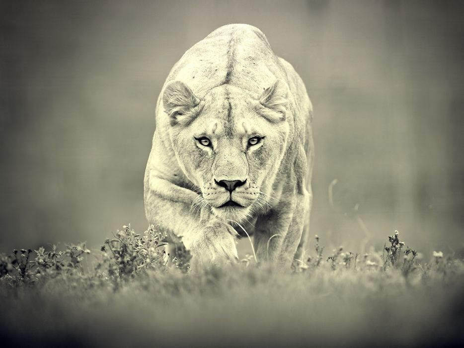 animals feline monochrome lions wallpaper