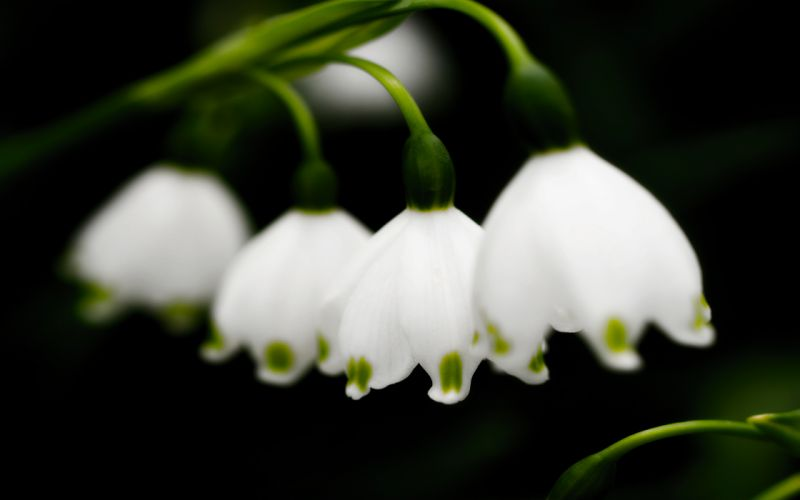 flowers spring macro lily of the valley white flowers wallpaper