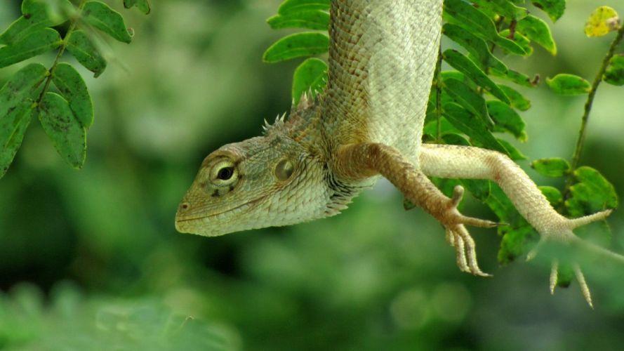animals leaves hanging lizards reptiles wallpaper