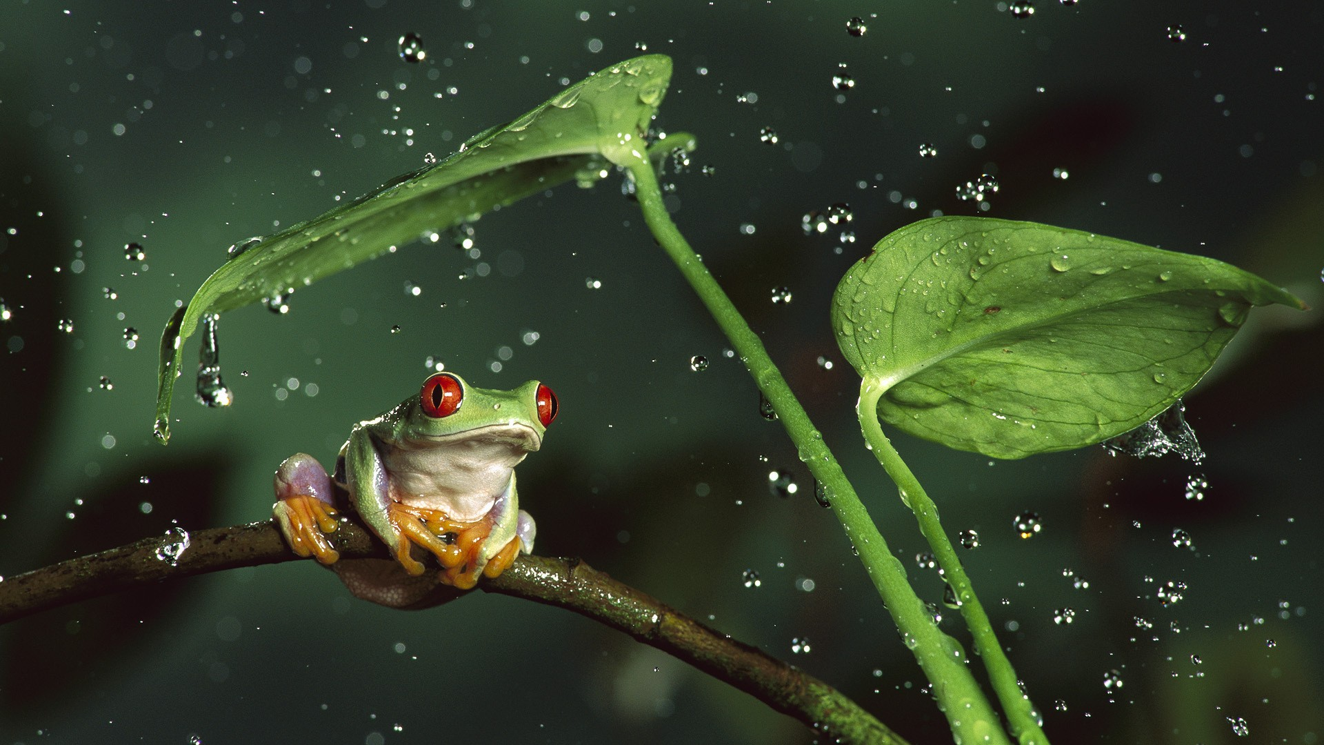 Nature rain jungle animals leaves frogs water drops macro depth of