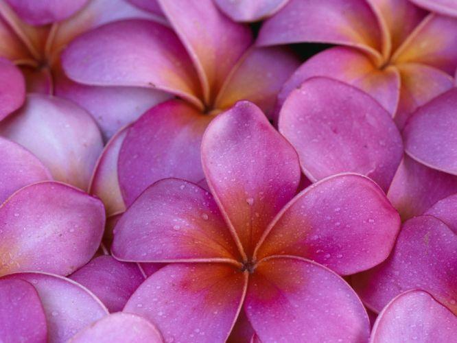 flowers Hawaii pink flowers plumeria wallpaper