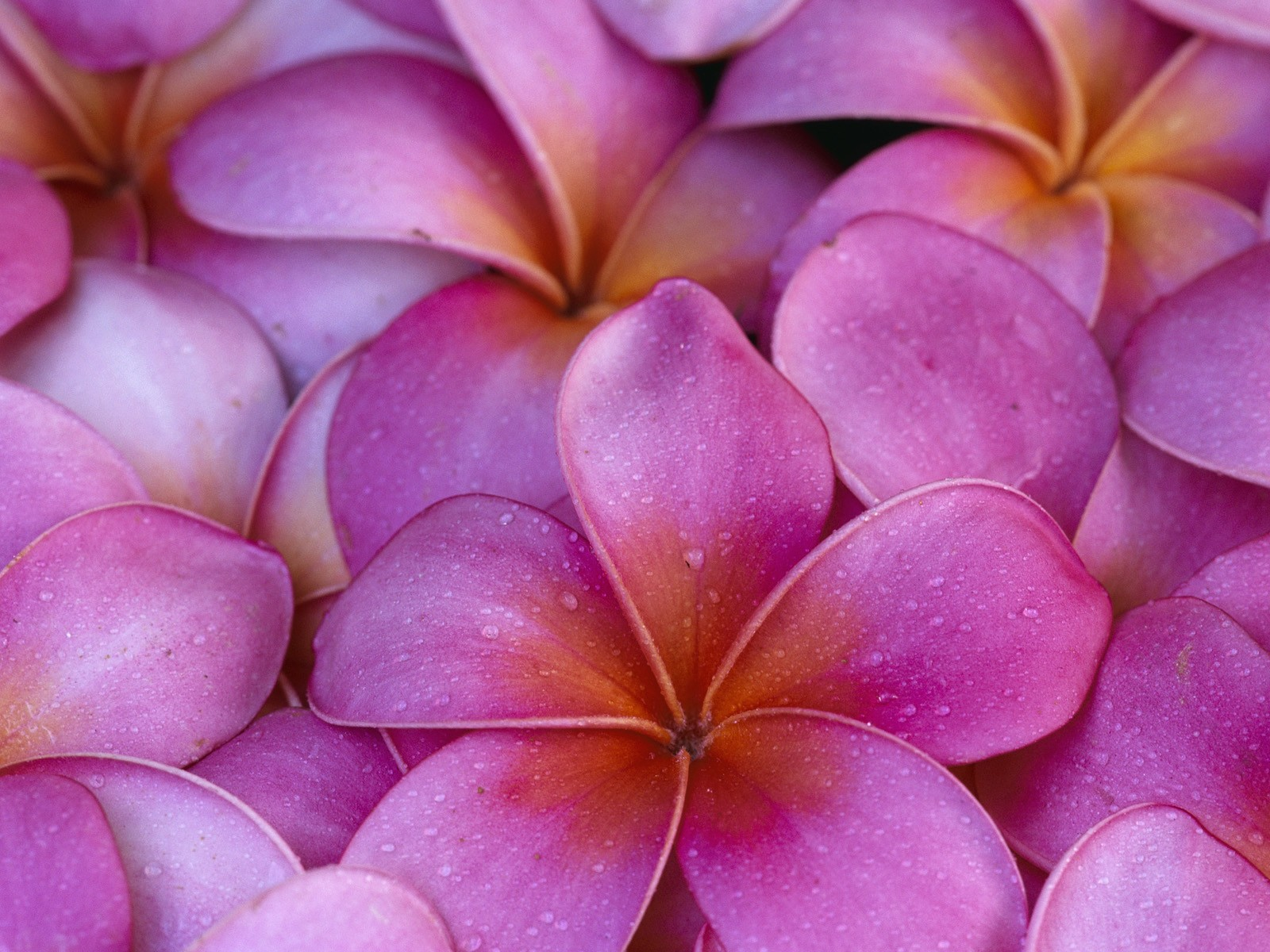 red plumeria wallpaper - photo #18