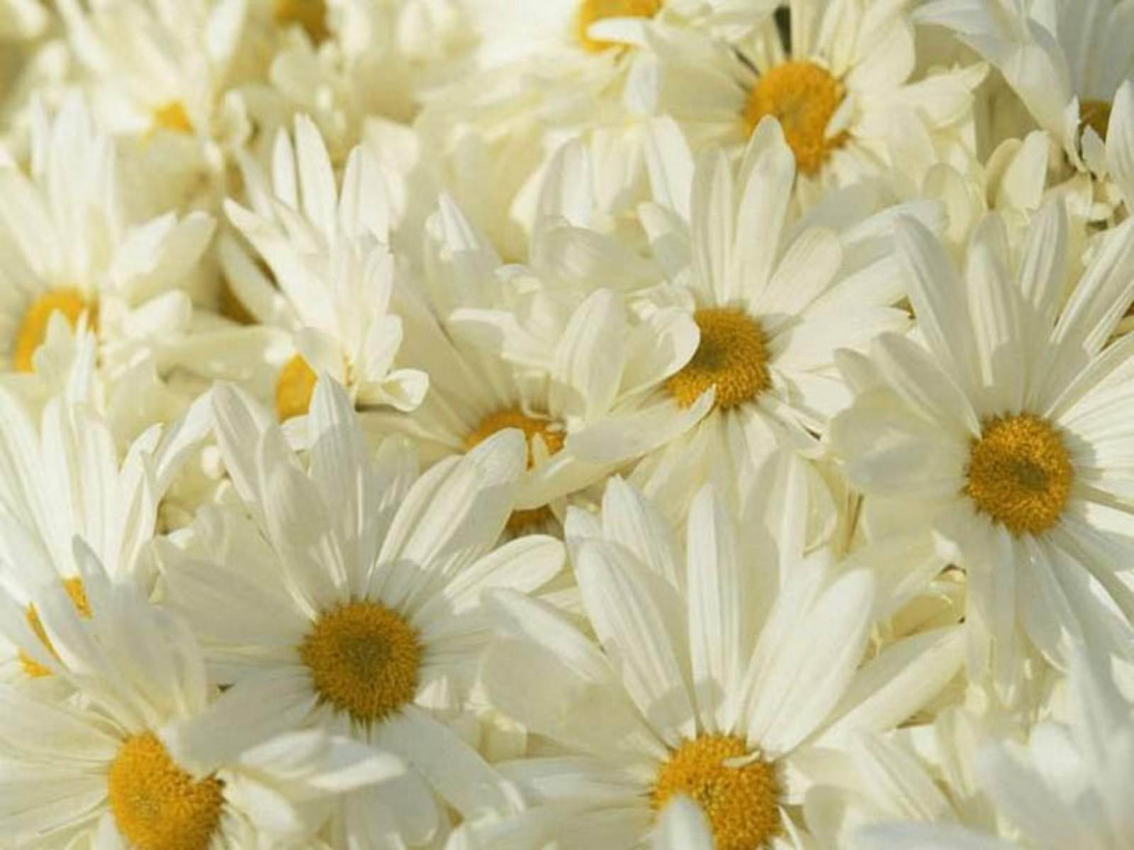 Flowers daisy white flowers wallpaper 1600x1200 190404 wallpaperup izmirmasajfo