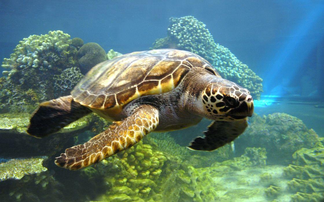 water nature animals turtles coral reef sea wallpaper