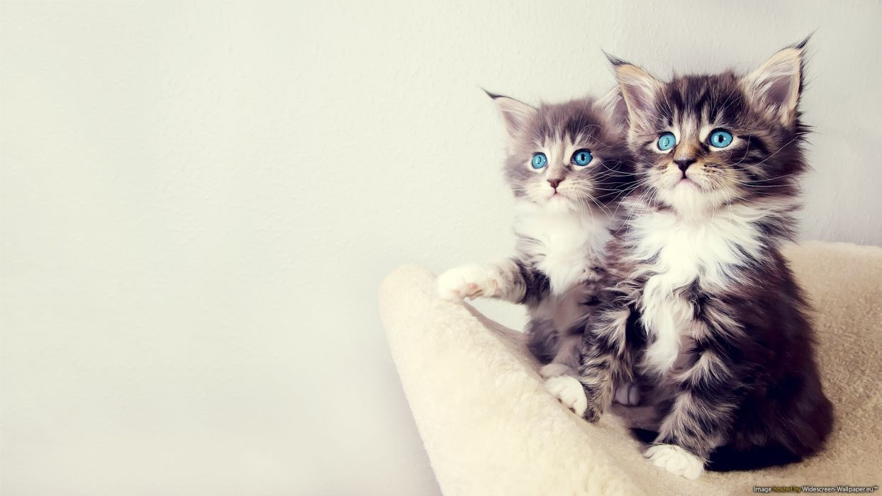 Blue White Cats Eyes Animals Gray Sitting Kittens Chest Paws Furry Wallpaper