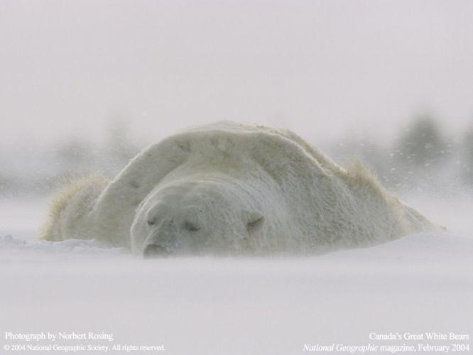 animals National Geographic polar bears wallpaper
