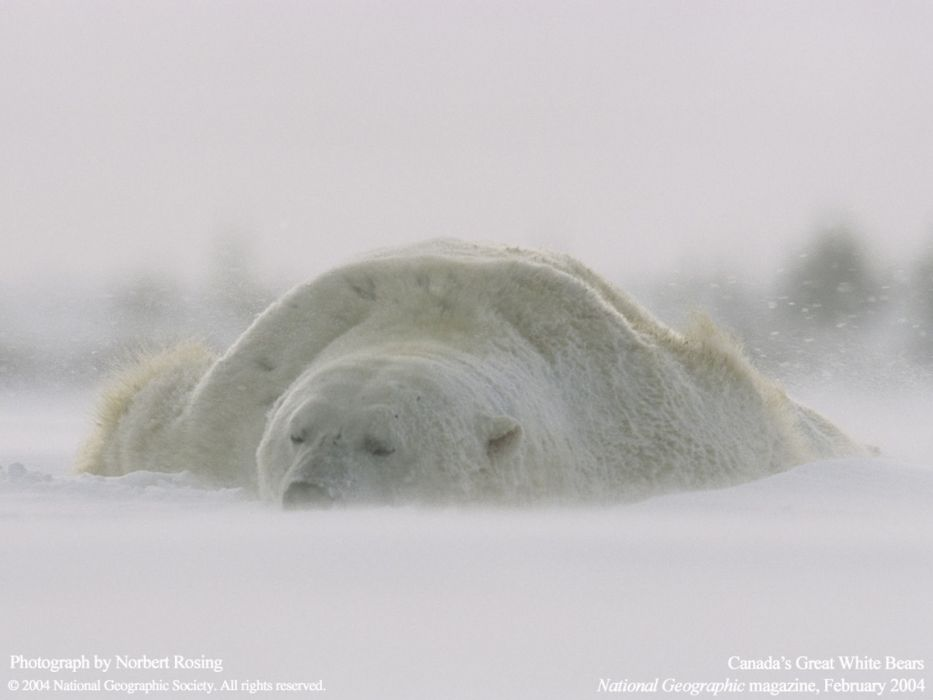 Animals national geographic polar bears wallpaper 1600x1200 animals national geographic polar bears wallpaper voltagebd Images