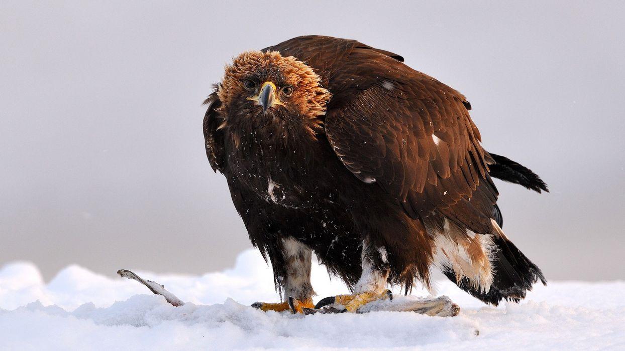 snow birds eagles Golden Eagle wallpaper