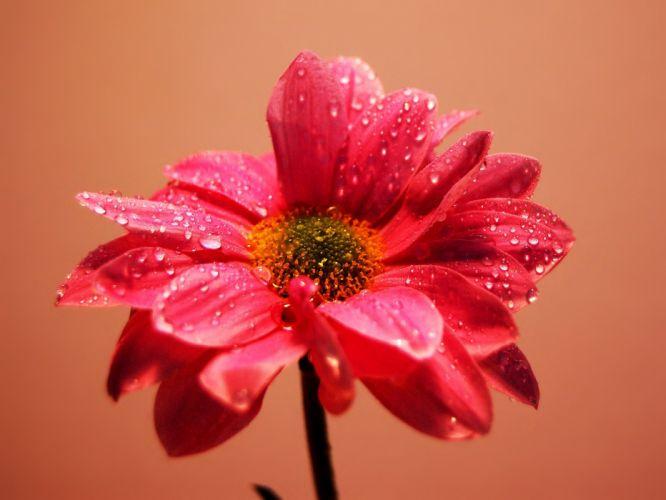 nature flowers pink water drops wallpaper