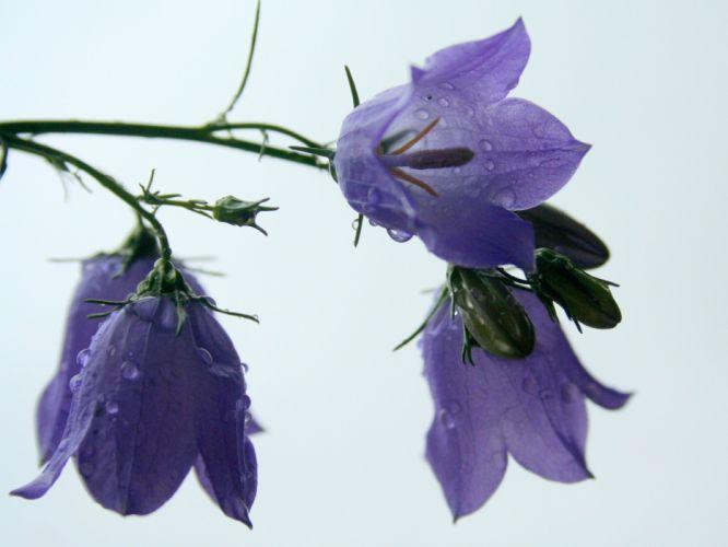 flowers water drops white background purple flowers bougainvillea wallpaper