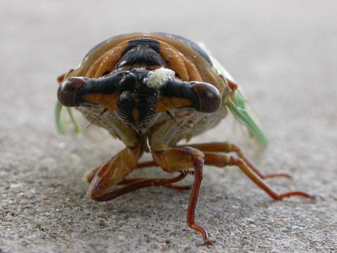 insects macro Cicada wallpaper