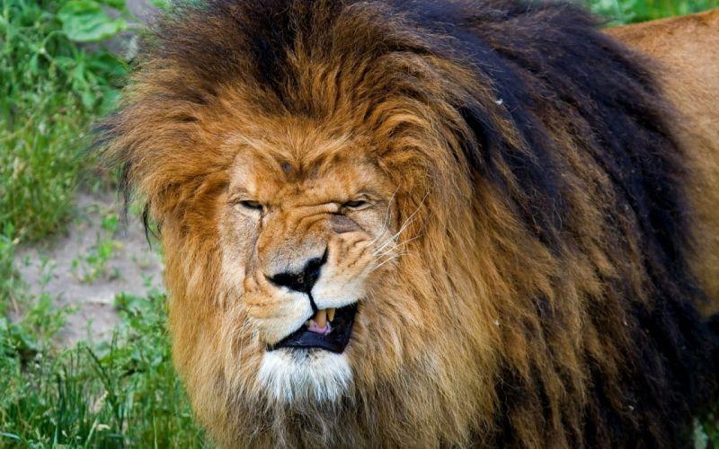 animals funny mugs lions wallpaper