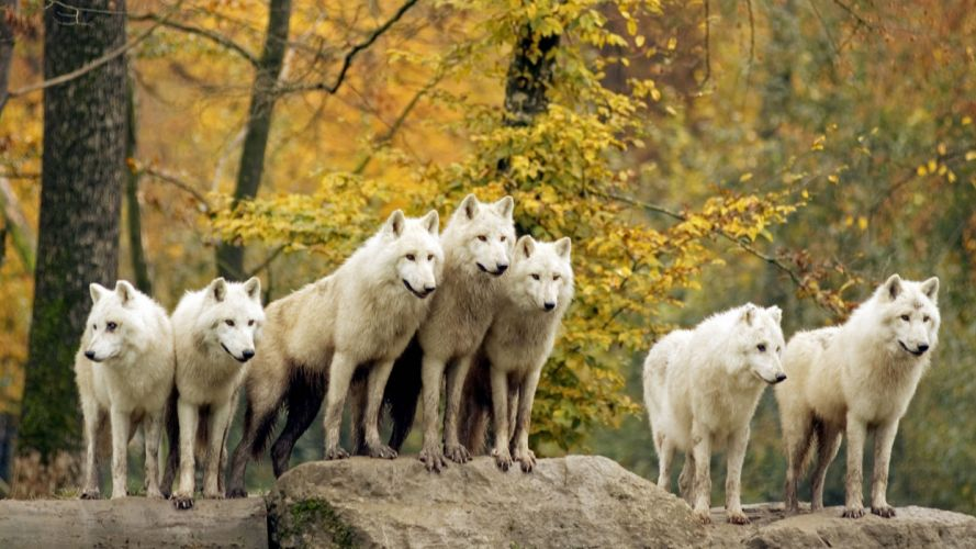 autumn forests animals wildlife arctic Canadian wolves wallpaper